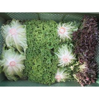 Salatköpfe, verschiedene Sorten
